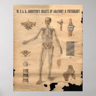 Vintage Skeletal Bones Anatomy Chart 1906 Print