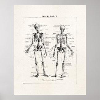 Vintage Skeleton Human Anatomy Bone Bones Skull Poster