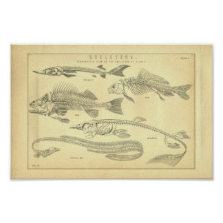 Vintage Skeletons of Fish Print