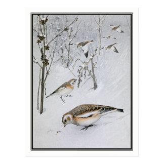Vintage Snow Bunting - Robert Bruce Horsfall Postcard