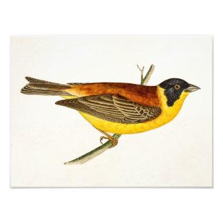 Vintage Song Bird Illustration -1800's Birds Photo