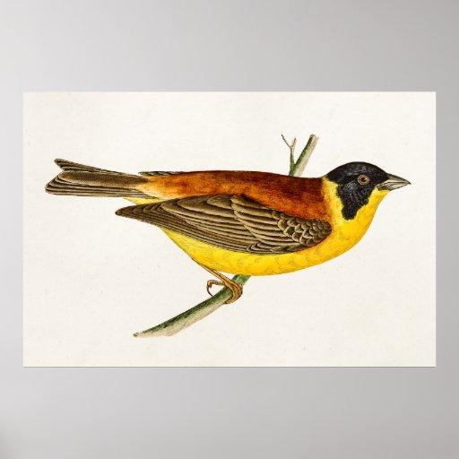 Vintage Song Bird Illustration -1800's Birds Poster
