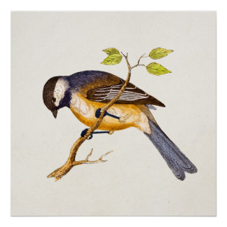 Vintage Song Bird Illustration -1800's Birds Print