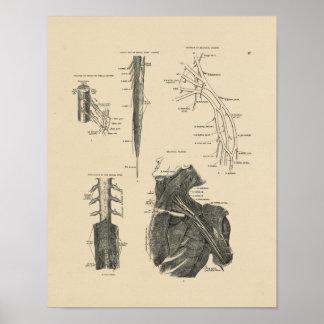 Vintage Spinal Nerves Anatomy 1880 Print