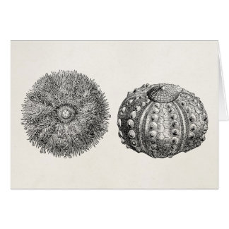 Vintage Spiny Sea Urchin Antique Template