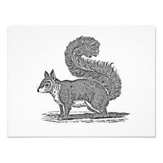 Vintage Squirrel Illustration -1800 s Squirrels Photograph