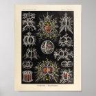 Vintage Stephoidea Color Ernst Haeckel Art Print