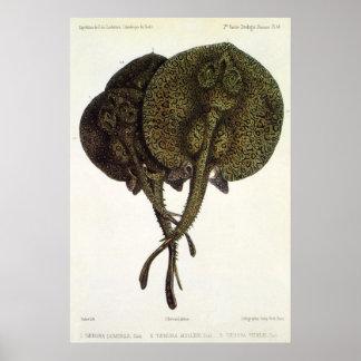 Vintage Stingrays Sting Rays, Marine Life Animals Poster
