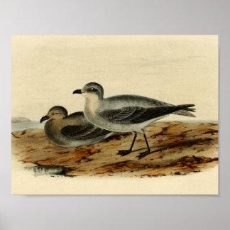 Vintage Storm Petrel Bird Poster