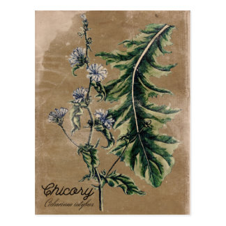 Vintage Style Chicory Herb Postcard