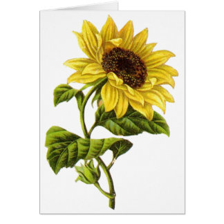 Vintage - Sunflower Illustration Greeting Card
