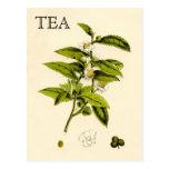 Vintage Tea Plant Postcard