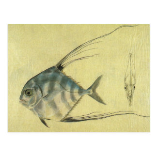 Vintage Threadfin Trevally, African Pompano Fish Postcard