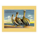 Vintage three musketeers pelicans from Florida Postcard