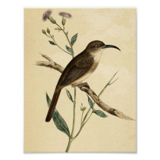 Vintage Thrush Bird Poster