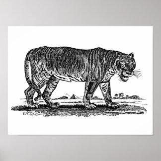 Vintage Tiger Illustration - 1800's Tigers African Poster