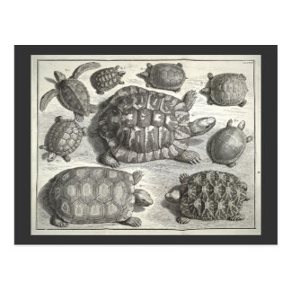Vintage Turtle Etching Postcard