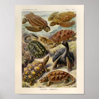 Vintage Turtles Color Ernst Haeckel Art Print
