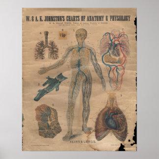 Vintage Veins Circulatory Anatomy Chart 1906 Posters