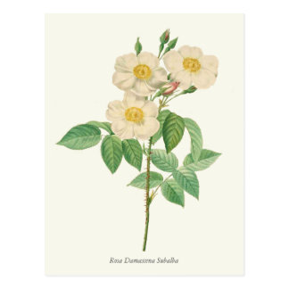Vintage White and Yellow Rose Botanical Print Postcard