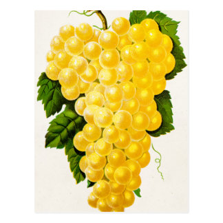 Vintage White Grapes Antique Grape Fruit Drawing Postcard