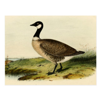 Vintage White Necked Goose Post Cards