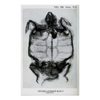 Vintage X-Ray of Turtle Poster
