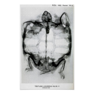 Vintage X-Ray of Turtle Posters