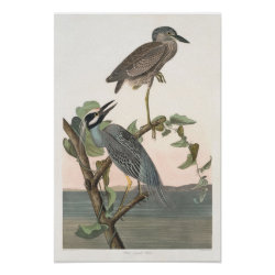 Matte Poster with Audubon's Yellow-crowned Night-heron design