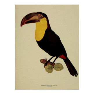 Vintage yellow throated toucan color photo posters
