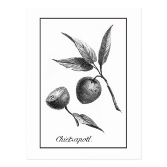 Vintage zapote exotic fruit etching card