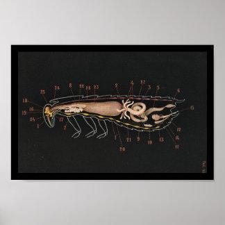 Vintage Zoology Print Cockroach