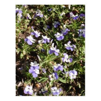 Viola 'Sorbet Delft Blue' Postcard