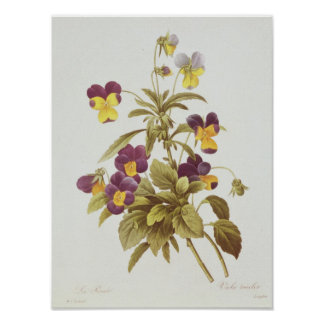 Viola Tricolour Poster