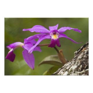 Violacea violeta de Cattleya de la orquídea de Cat Arte Fotográfico