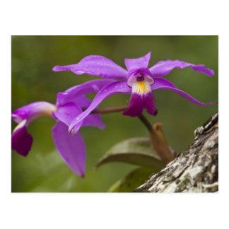 Violacea violeta de Cattleya de la orquídea de Postal