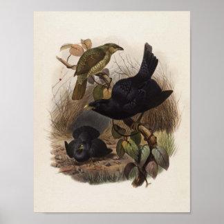 Violaceus de Elliot - de Ptilorhynchus - Glorieta- Impresiones