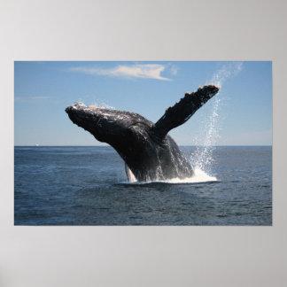 Violación adulta de la ballena jorobada póster