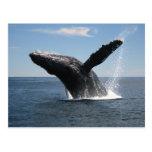 Violación adulta de la ballena jorobada tarjetas postales