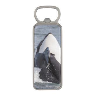 Violación de la ballena de la orca abrebotellas magnético