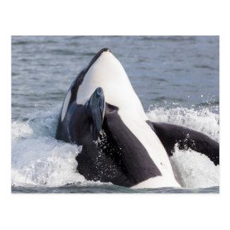 Violación de la ballena de la orca tarjetas postales