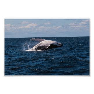 Violación de la ballena jorobada - impresión de la cojinete