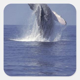 Violación de la ballena jorobada (Megaptera Calcomanias Cuadradas