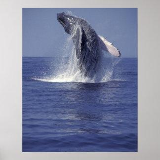 Violación de la ballena jorobada (Megaptera Póster