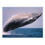 Violación de la ballena jorobada postales