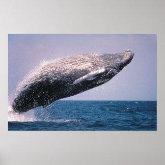 Violación de la ballena jorobada póster