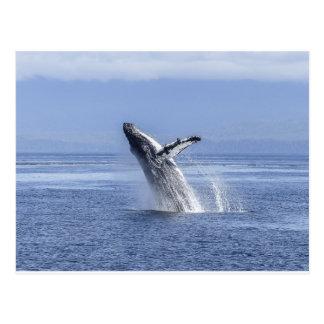 Violación de la ballena jorobada tarjetas postales