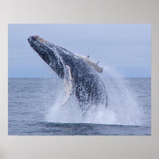 Violación de la impresión de la ballena jorobada póster