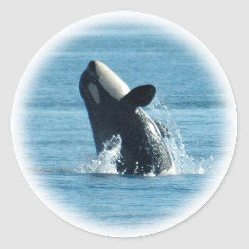 Violación de los pegatinas de la orca etiqueta redonda