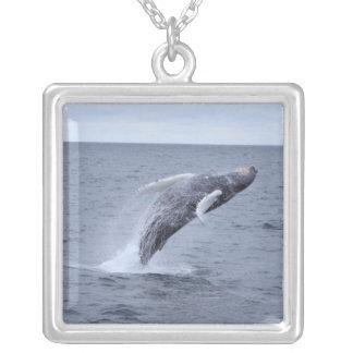 Violación del collar de la ballena jorobada